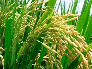 Коричневый рис – полезнее ли белого?