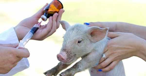 Антибиотики в мясе могут влиять на ожирение